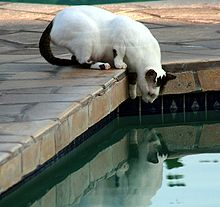 220px-Feral_cat_at_the_pool