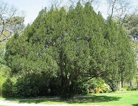 800px-Taxus_baccata01_by_Line1