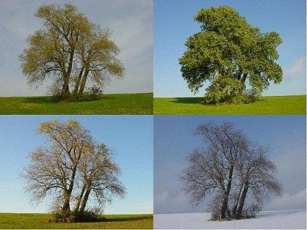 Peuplier-arbre-saisons