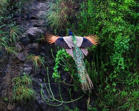 oiseau-de-feu