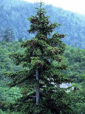 Picea_jezoensis